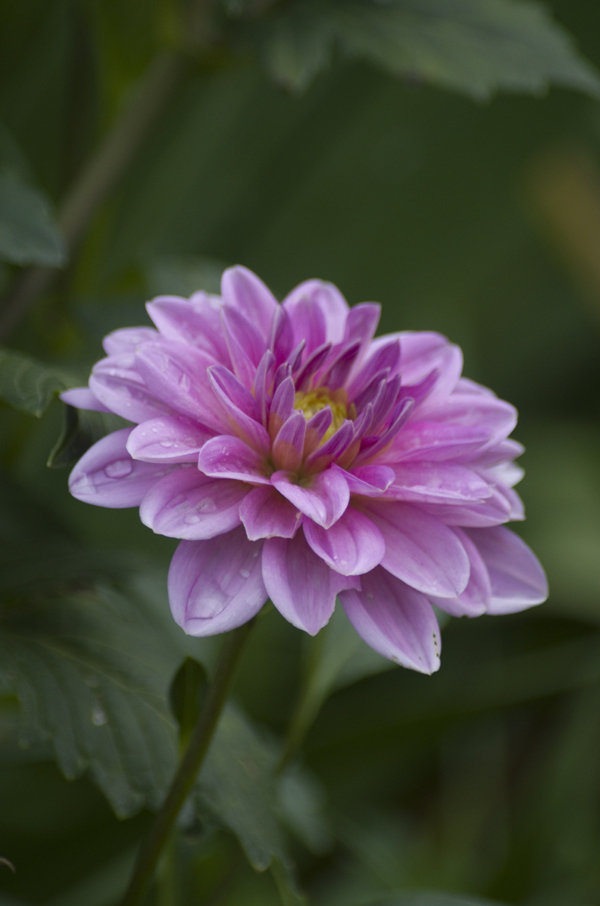 Dahlia floral photography
