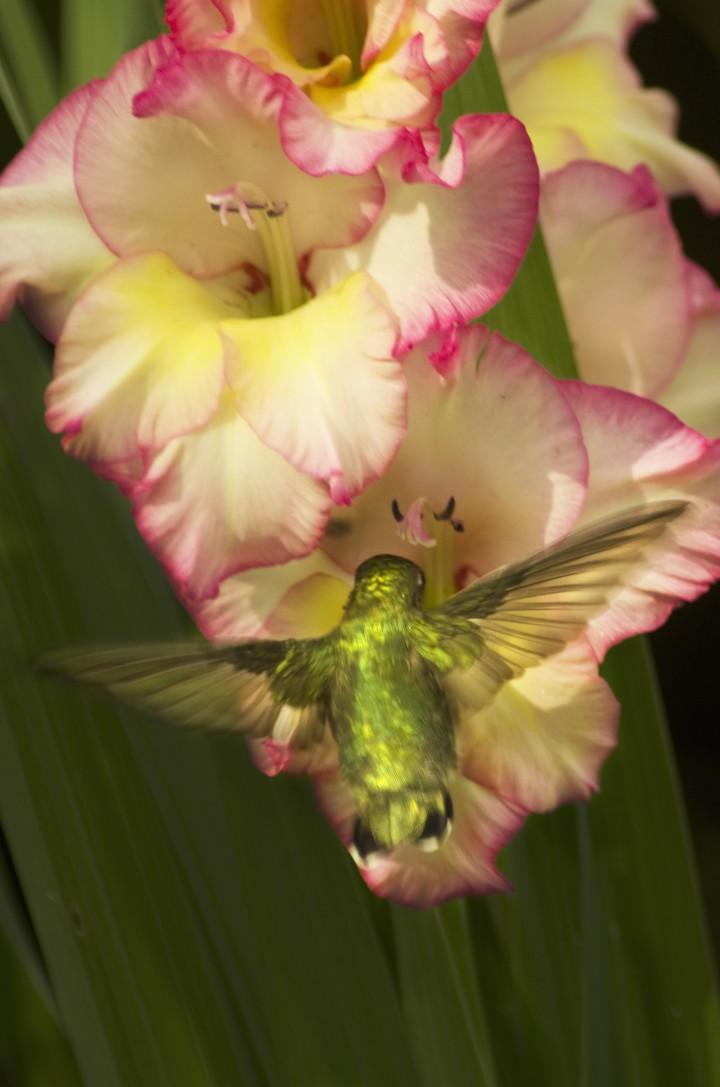 Hummingbird Natural Photography
